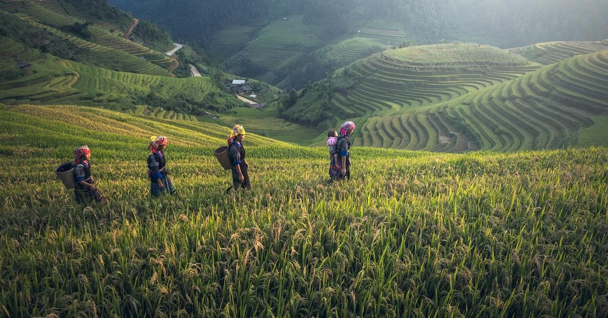 farmars in rice fields