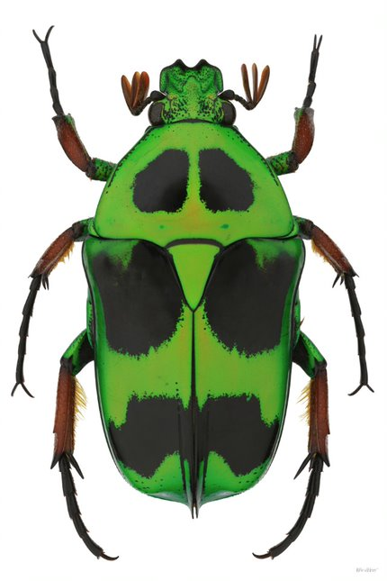 Flower Beetle 2015