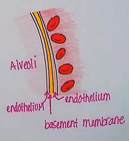 repiratorymembrane (2).png