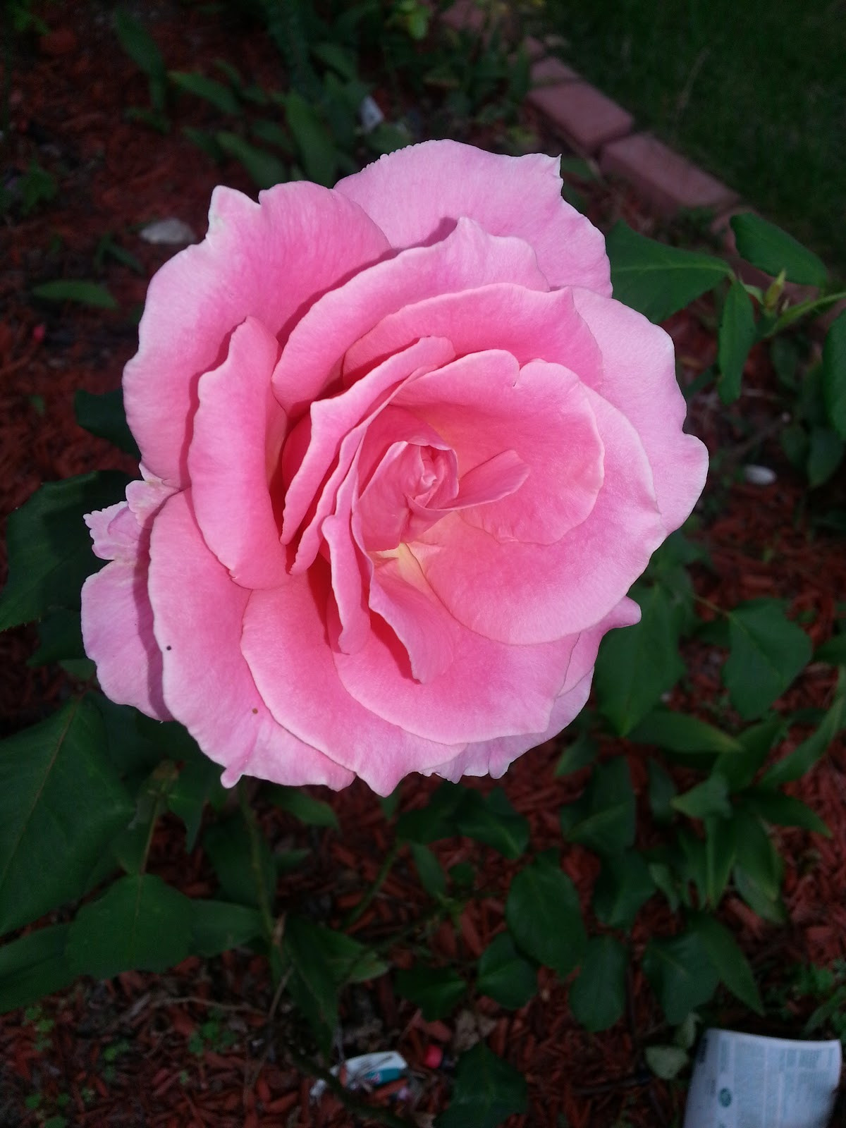 bewitched rose picture