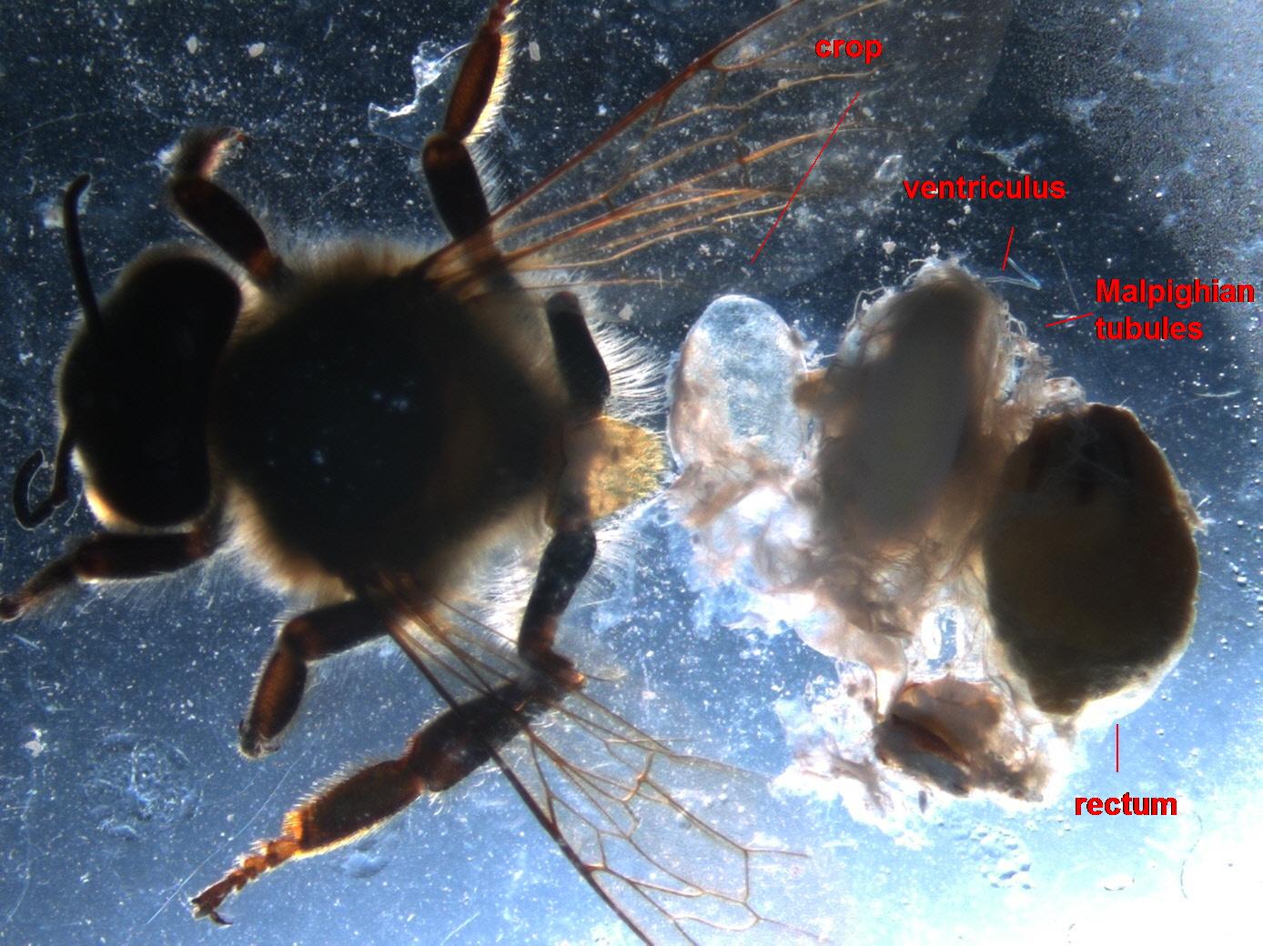 http://beeinformed.org/2013/07/bee-guts/
