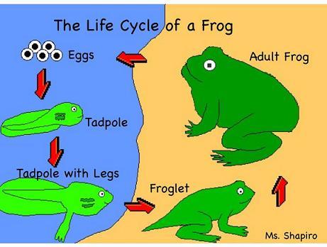 Inglés online: The life cycle of a frog - El ciclo de vida de una ...