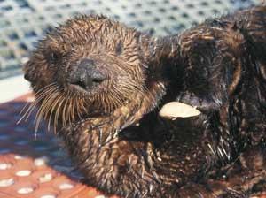 The Marine Mammal Center : Sea Otter