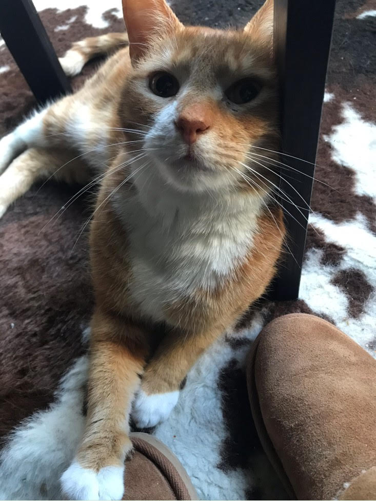ginger cat looking at the camera