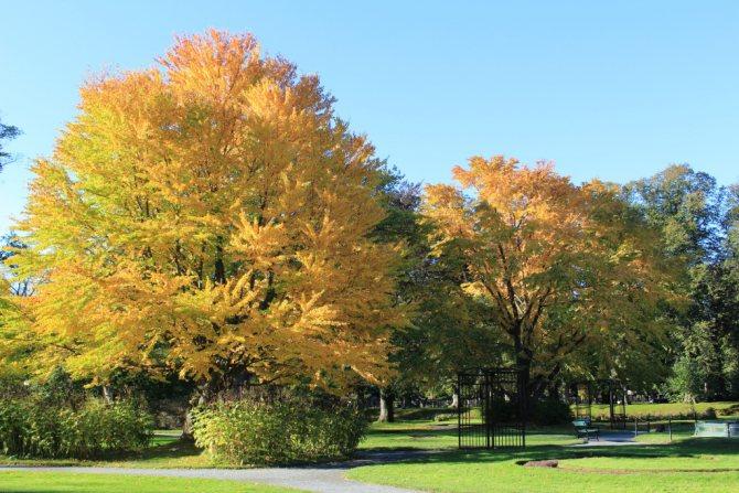Багряник японский в ландшафтном дизайне осенью
