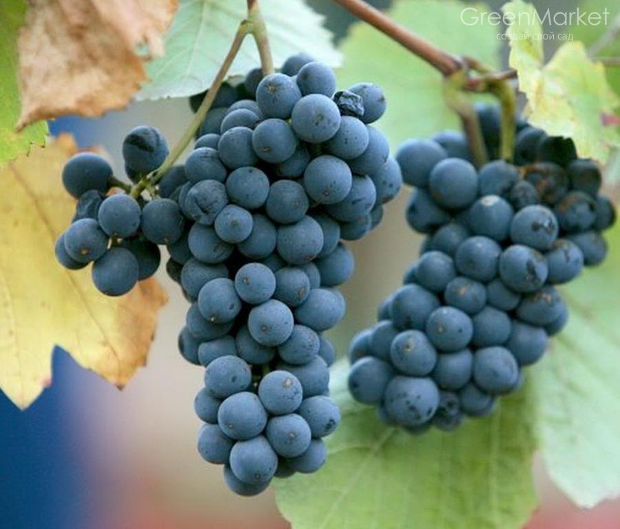 Картинки по запросу виноград пино нуар