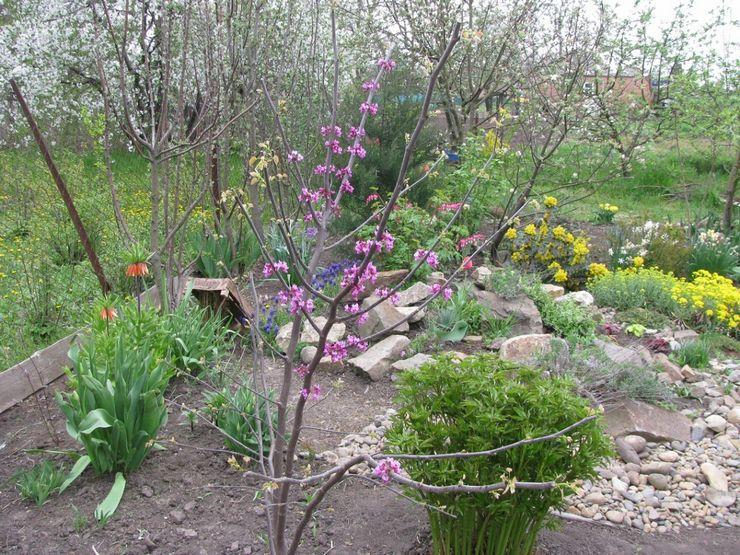 Особенности выращивания церциса