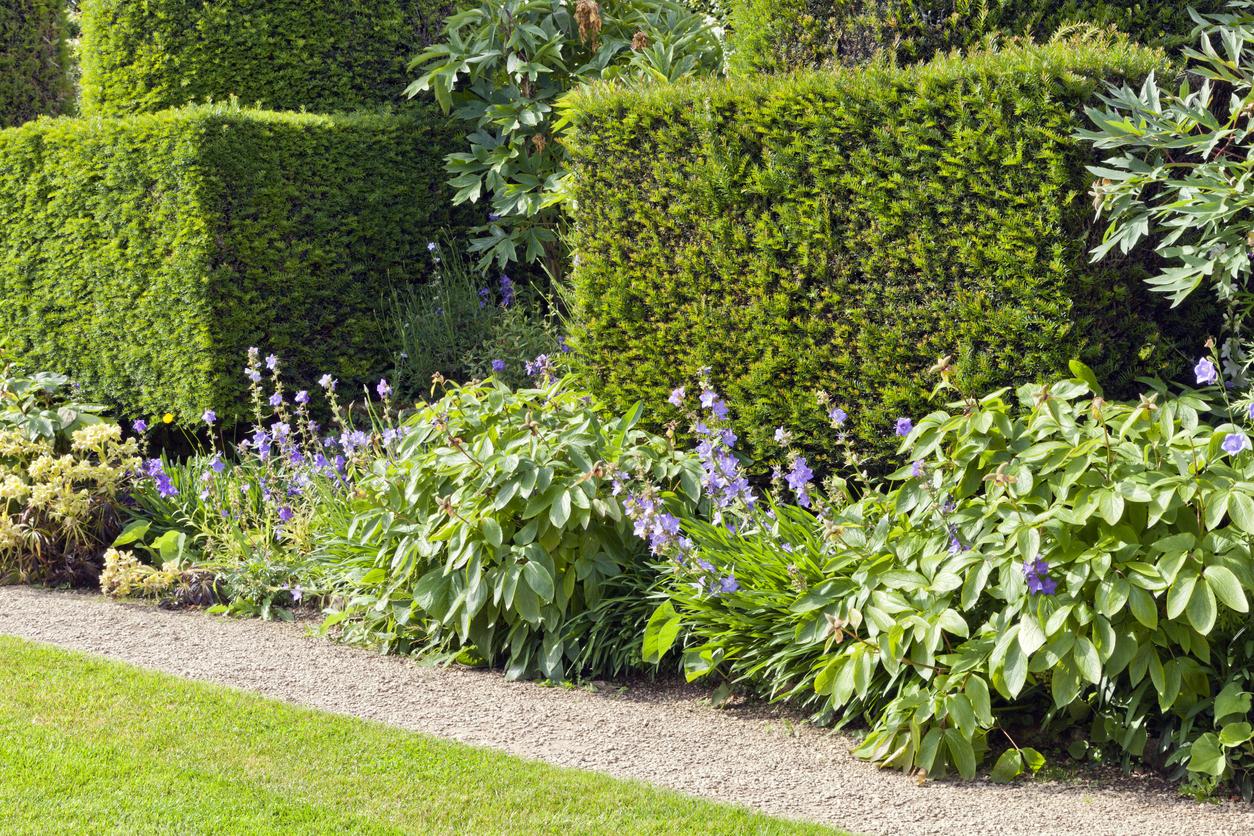 Tvarovaný ihličnatý živý plot, doplnený výsadbou