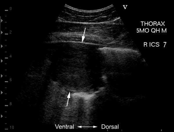 Well demarcated and encapsulated pulmonary abscess in a 5-month-old foal with pneumonia due to Rhodococcus equi
