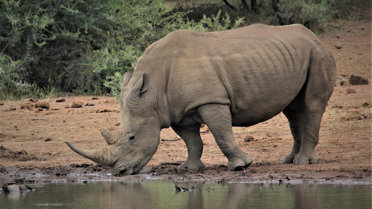 Rinoceronte Blanco Bebida El Agua - Foto gratis en Pixabay
