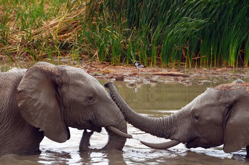 two young elephants in a pool of water touching trunks