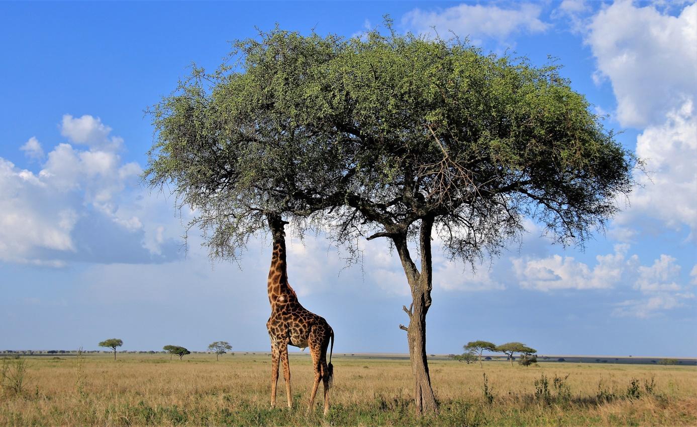 C:\Users\Administrator\Documents\Documents\Putovanja\PUTOPISI\KENIJA I TANZANIJA\7\Slike\Žirafa, Serengeti, Zoran Bijač.jpg