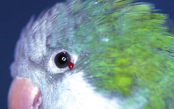 Quaker (monk) parakeet with a drop of conjuctival blood post-examination
