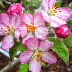 State Flower: The Apple Blossom