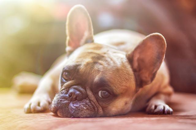 Dog, Model, French Bulldog, View