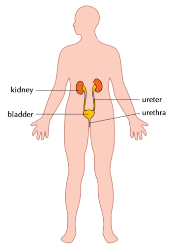 My Human Body Systems: The Excretory System