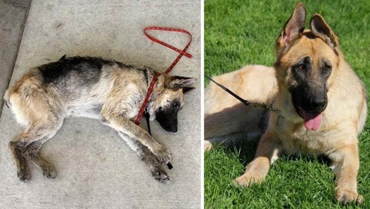 perro pastor alemán abandonado y después de ser rescatado
