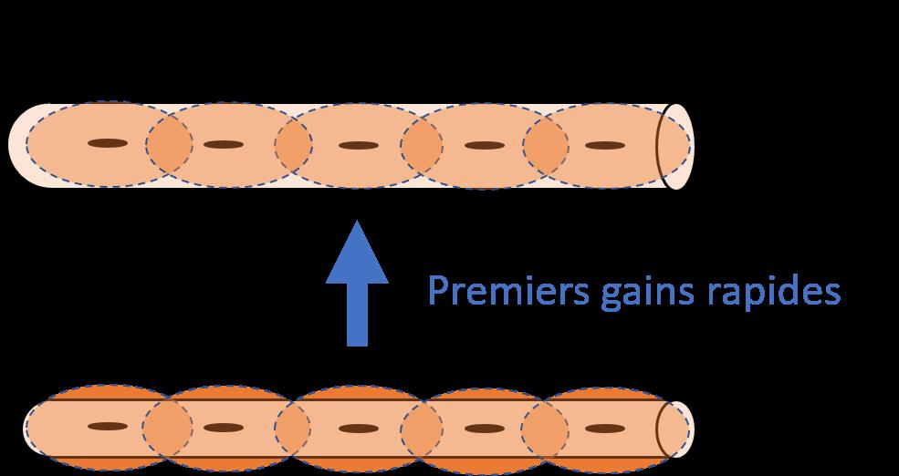 hypertrophie domaine myonucléaire