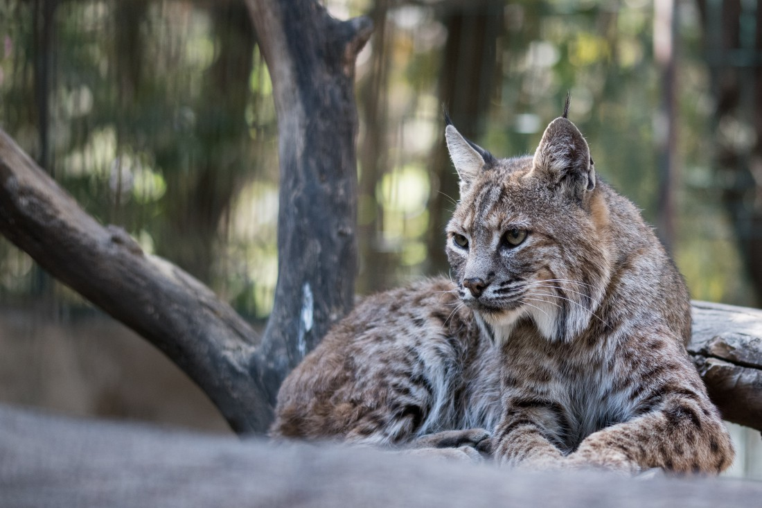 Iberian Lynx in forest