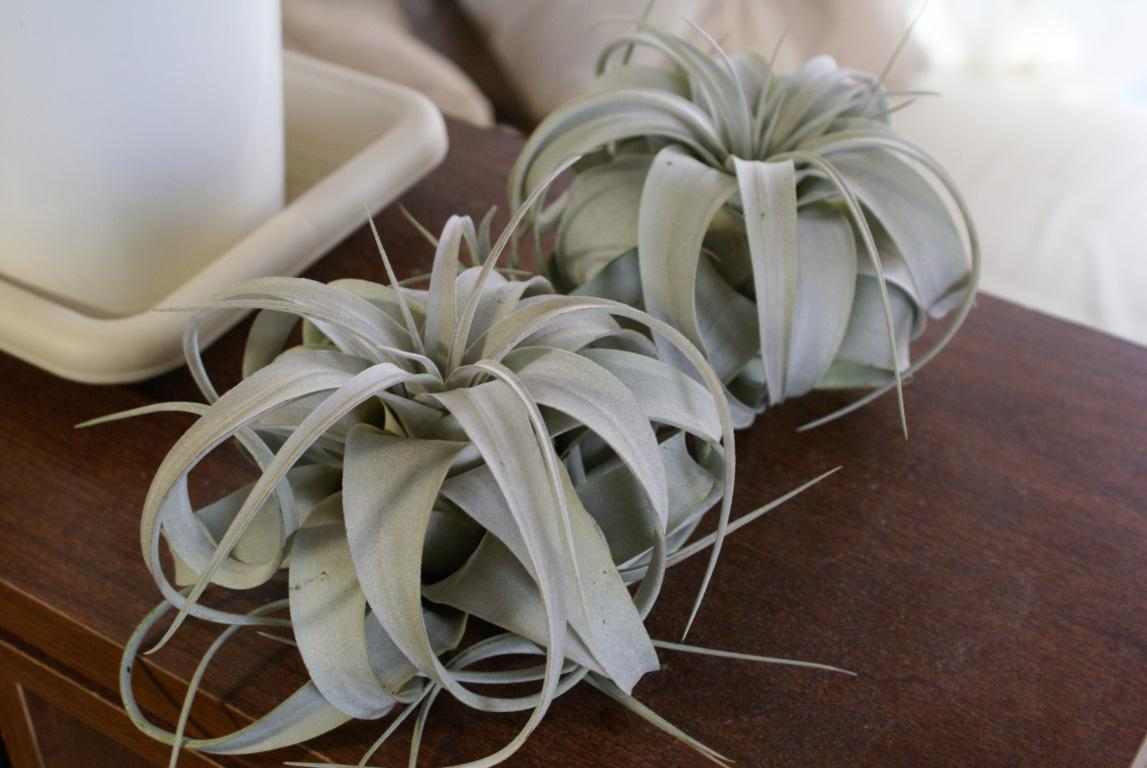 Two xerographica air plants on a table