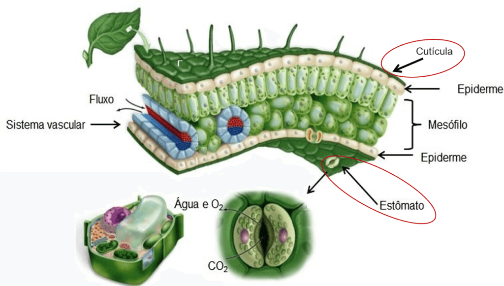 Folha e suas estruturas: localização da cutícula e estômato