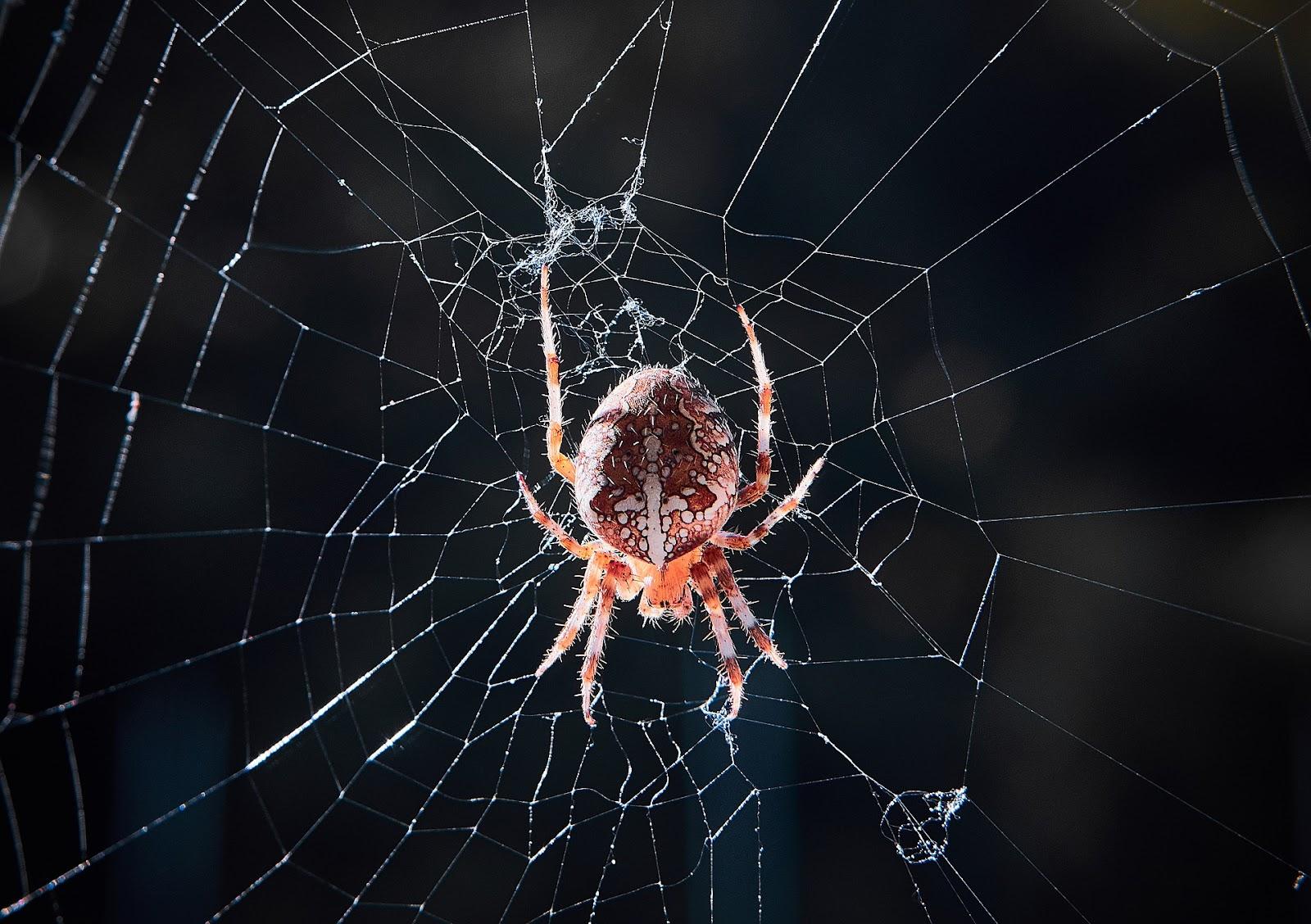 Big spider in web