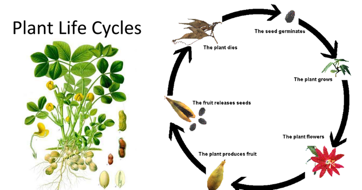 Plant Life Cycles - Google Slides