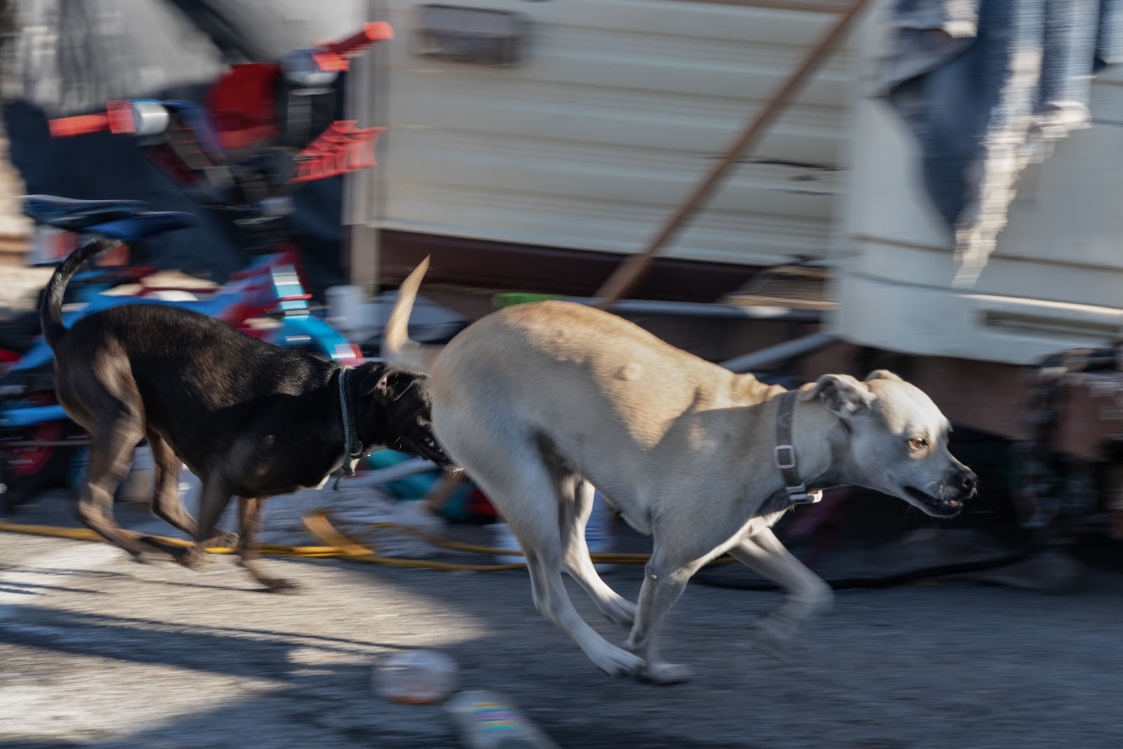 Two of Jenkins' dogs play at the North Castro Street encampment.