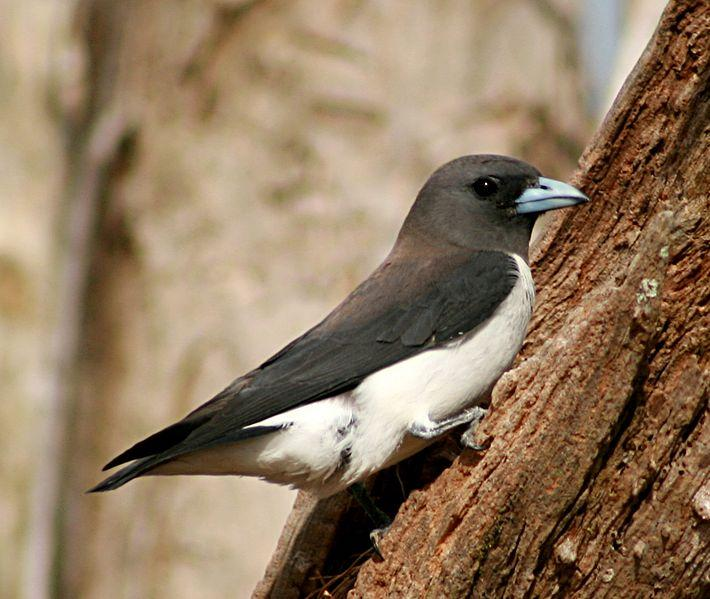 File:White-breasted Woodswallow at nest crop.jpg