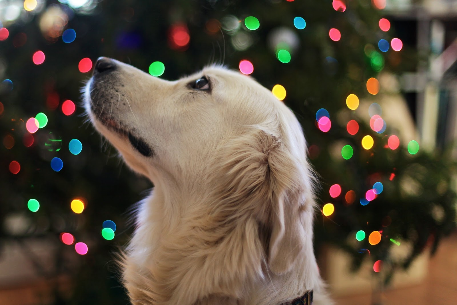 dog and christmas tree lights