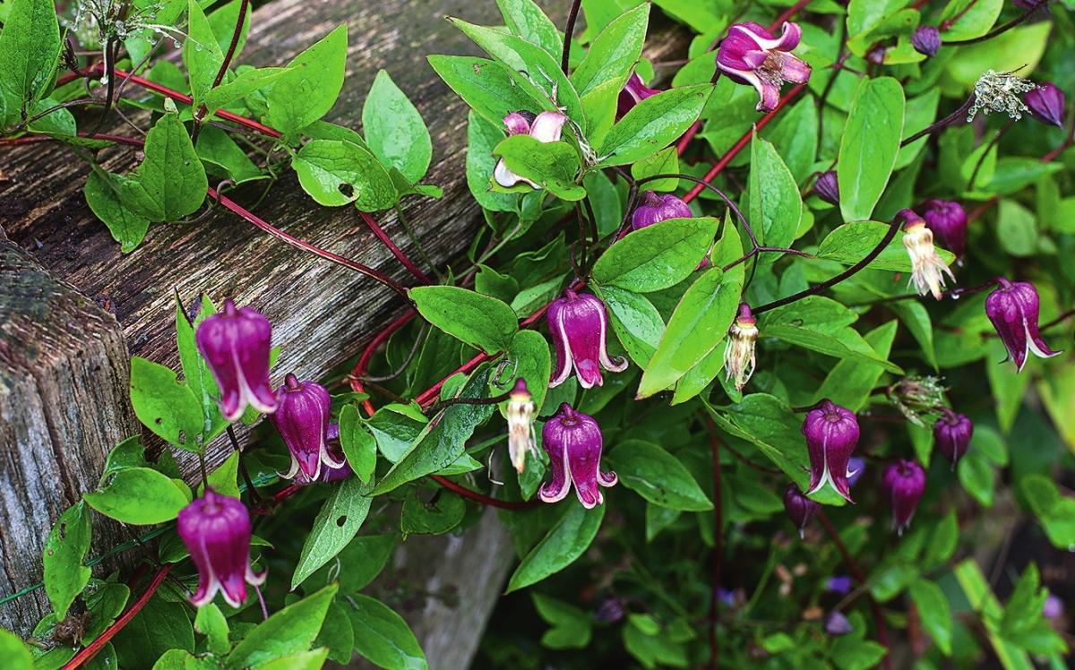 Клематис тексенский (C. texensis) 'Buckland Beauty'