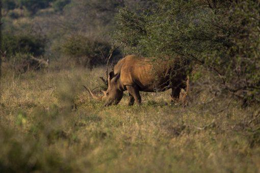 Animais da África do Sul -Dois rinocerontes brancos, um deles quase escondido atrás do arbusto.
