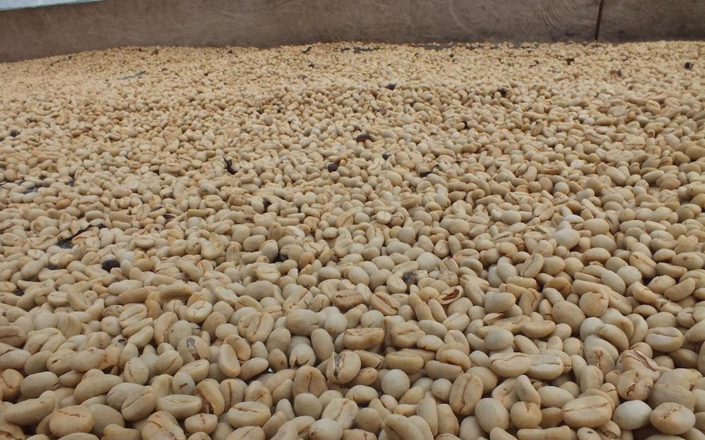 fermenting coffee beans