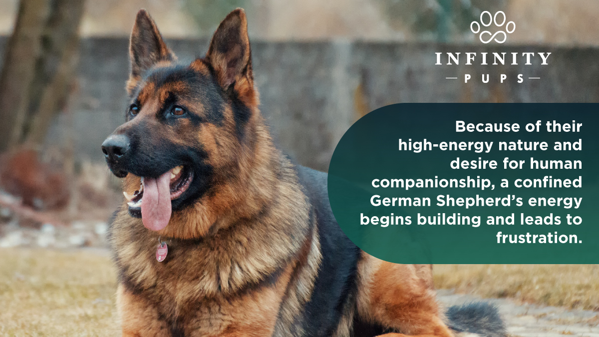 German shepherds should have freedom to roam and exercise