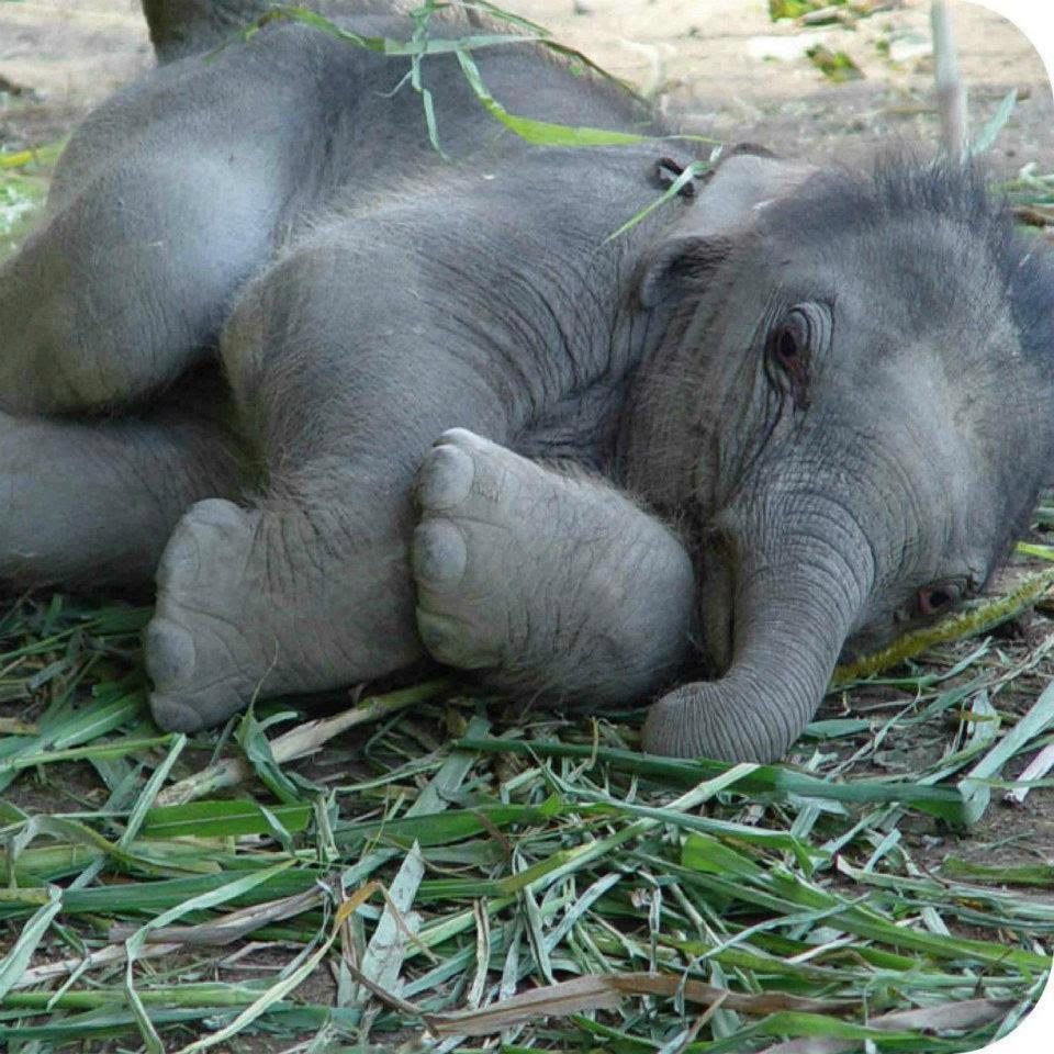 Elephant   Tejanimals