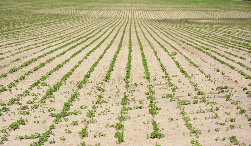 La Niña pode provocar estiagem e prejudicar lavouras de soja no sul do Brasil e na Argentina. (Fonte: Shutterstock)