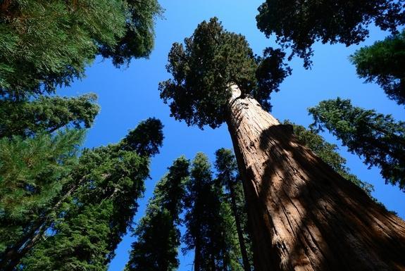 http://i.livescience.com/images/i/000/039/154/i02/redwood.jpg?1366235108