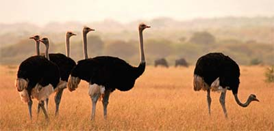ostrich farming at Oudtshoorn, South Africa