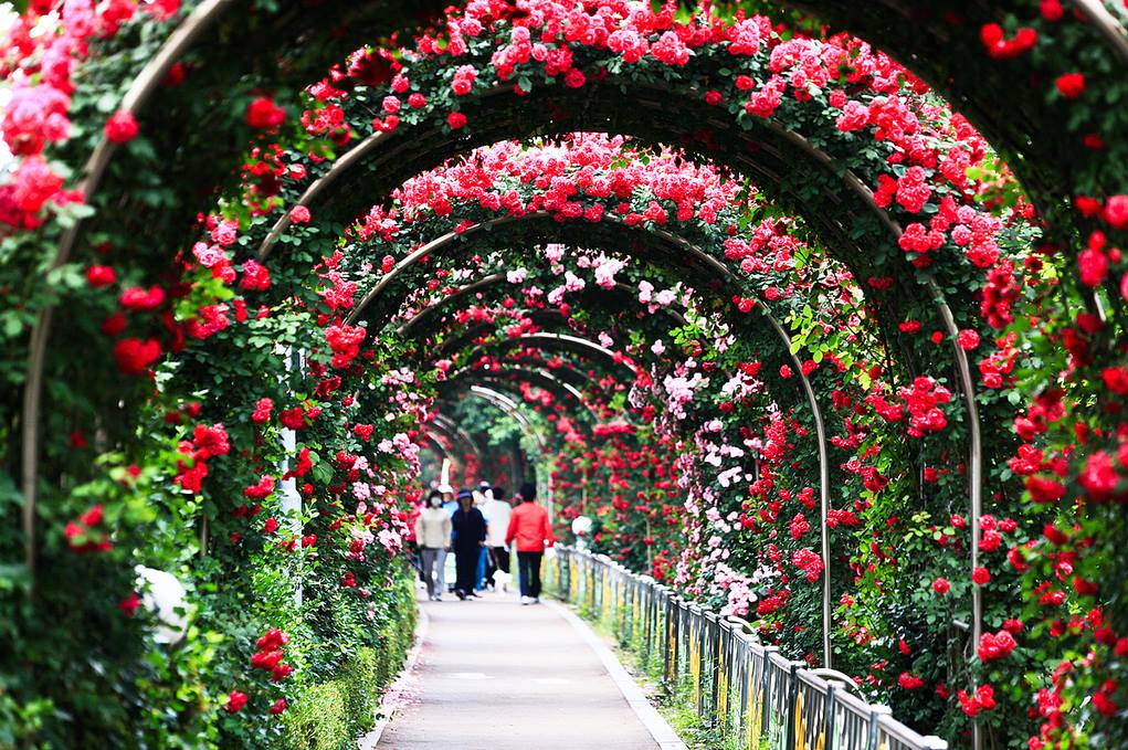 Lễ hội hoa đẹp nhất vào mùa xuân Hàn Quốc
