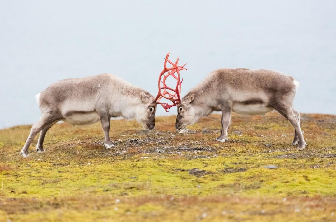 Two reindeer with their antlers locked