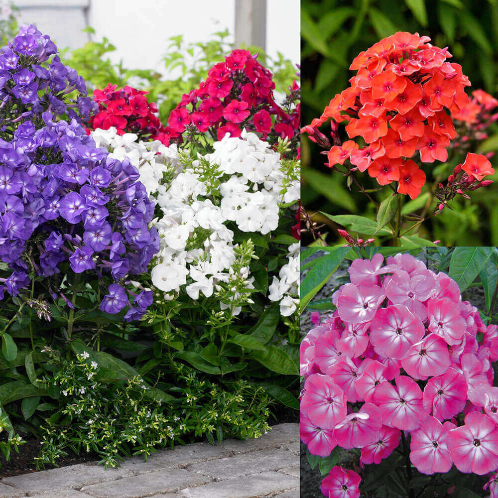 Phlox; Breathtaking Flowers That Start With P