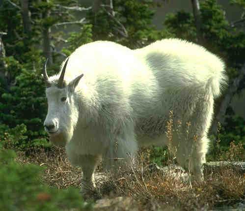 goat1C.jpg