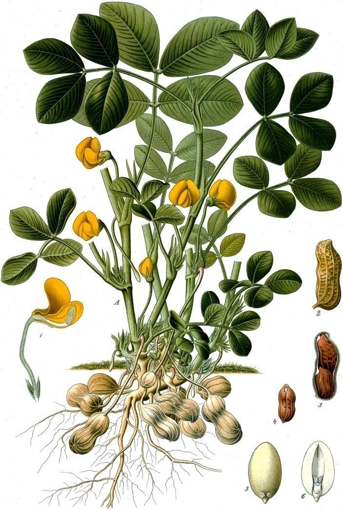 Arachis_hypogaea_-_Köhler–s_Medizinal-Pflanzen-163.jpg