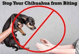 Chihuahua not to bite