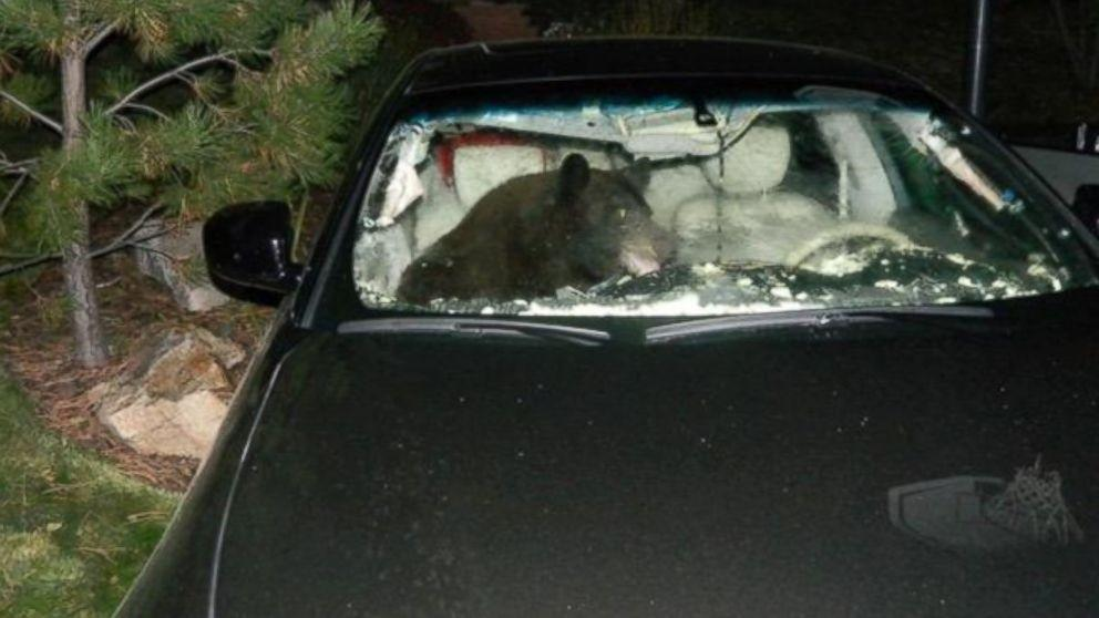 Black Bear Gets Trapped Inside Car, and Car Damage Ensues ...