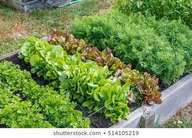 https://image.shutterstock.com/image-photo/rows-green-vegetables-grow-urban-260nw-514105219.jpg