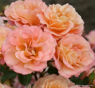 Cubana® | Ground Cover Roses | Bare Root Roses | Delivery Type | Garden  roses | Rosen-Kordes