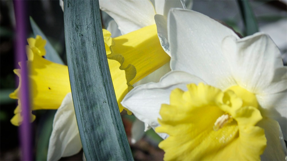 Depth Daffs.jpg