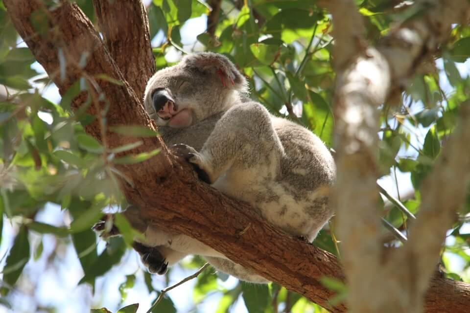 Koala asleep in a tree. Vacation houses in Australia