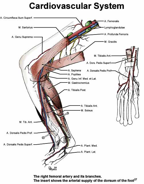 Illustration of the right femoral artery and its branches [27].